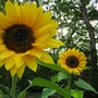 sunflower, russian giant (helianthus)