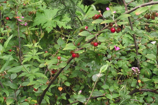 Cotoneaster Franchetti (Cotoneaster franchetii (Franchet's Cotoneaster))