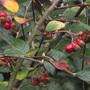Cotonaester simonii (Cotoneaster simonsii (Himalayan Cotoneaster))