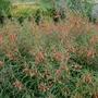 Lobelia laxiflora (Sierra Madre Lobelia)