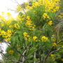 Cassia (Senna) spectabilis - Carnival Cassia, Shower Tree (Cassia (Senna) spectabilis - Carnival Cassia, Shower Tree)