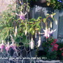 Fuchsia_close_up_on_balcony_28_07_2011_002