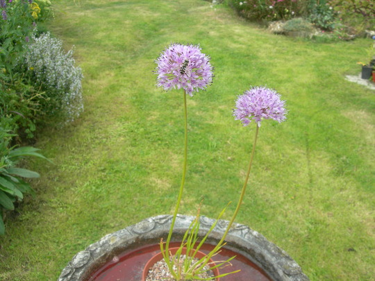 Allium sp. (Allium sp.)