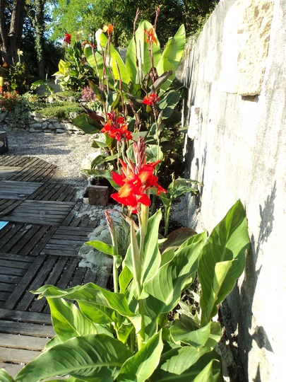 Canna 'Lucifer' (Canna indica (Indian shot plant))