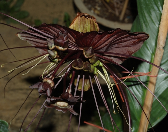 Bat Flower (Tacca chantrieri (Bat Flower))