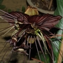 Bat Flower (Tacca chantrieri (Bat Flower))