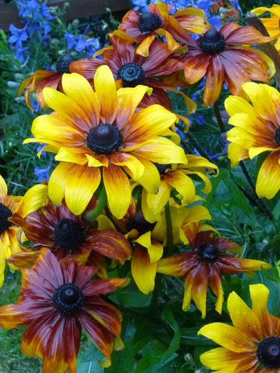 Rudbeckias in the rain (rudbeckia)