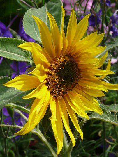 Self-seeded Sunflower (Helianthus annuus (Sunflower))