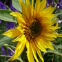 Self-seeded Sunflower (Helianthus annuus (Sunflower))