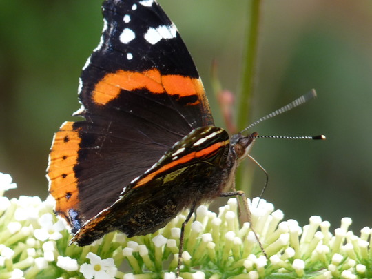 Red Admiral and white Buddleia (buddleia)