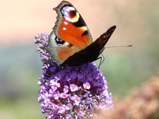 Peacock butterfly and purple buddleia (buddleia)