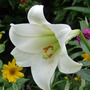 Regal Lily (Lilium regale (Regal lily))