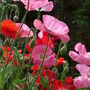 Shirley Poppies (papaver)