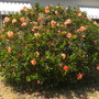 Hibiscus rosa-sinensis - Dusty Coral Tropical Hibiscus (Hibiscus rosa-sinensis - Dusty Coral Tropical Hibiscus)