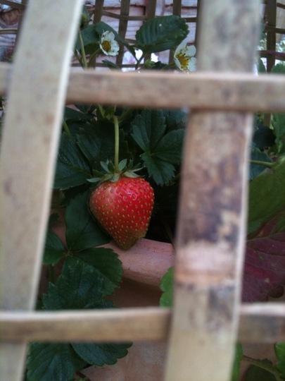 Strawberry in Cloche