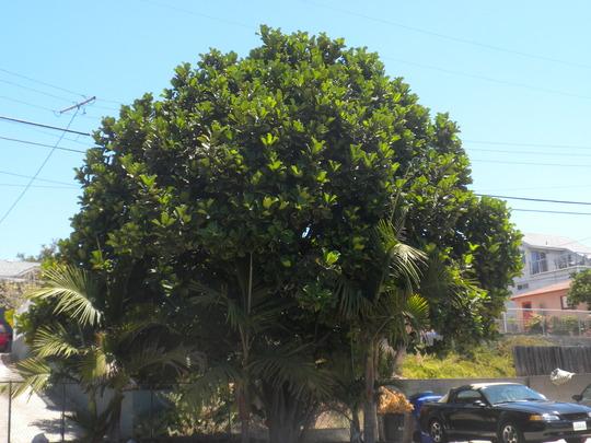 Ficus lyrata - Fiddle-leaf Fig and Archontophoenix cunninghamia - King Palms (Ficus lyrata - Fiddle-leaf Fig and Archontophoenix cunninghamia - King Palm)