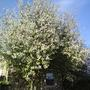 Bird Cherry (Prunus padus (Bird Cherry))