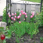 Tulips_08