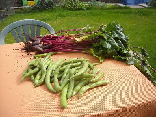 1st harvest - 13 Aug 2011 (Beta vulgaris (Beetroot), V. Faba (Broad bean))