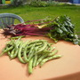 1st harvest - 13 Aug 2011 (Beta vulgaris (Beetroot), V. Faba (Broad bean))