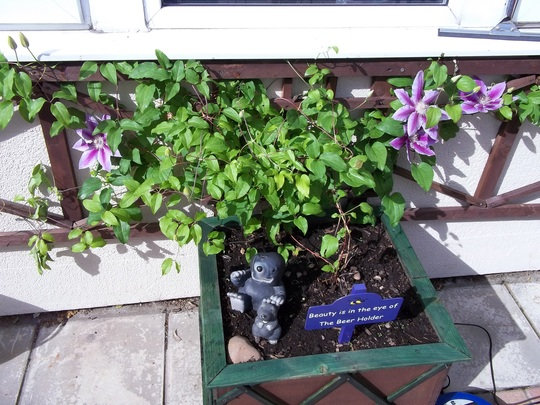 Clematis replanted