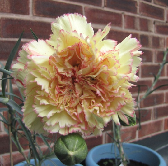 Carnation 'Reina' (carnation)