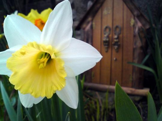 Dafs (Narcissus pseudonarcissus (Daffodil))
