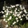 Dog_daisies