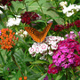 Great Spangled Fritillary (Dianthus barbatus (Sweet William))