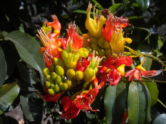 Castanospermum australe - Moreton Bay Chestnut Tree (Castanospermum australe - Moreton Bay Chestnut Tree)