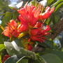 Castanospermum australe - Moreton Bay Chestnut Tree