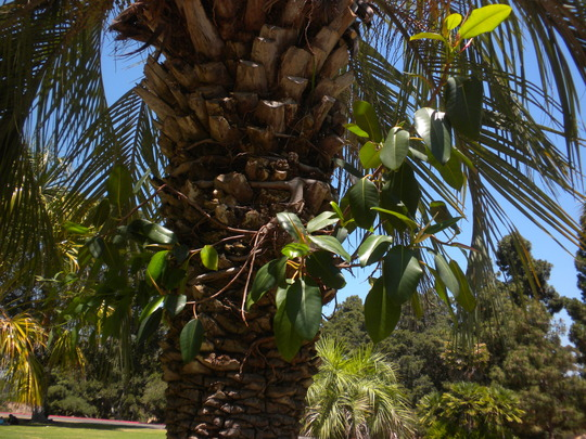 Ficus macrophylla - Australian Banyan seedling growing on a Butia capitata - Jelly Palm Trunk (Ficus macrophylla - Australian Banyan, Butia capitata - Jelly Palm)