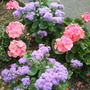 Geranium&#x27;s and Ageratum
