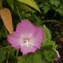 pink evening primrose.. (oenothera speciosa)