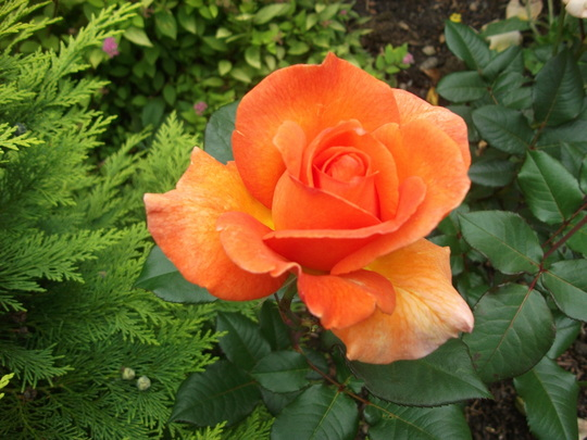 Rose Doris Tysterman hybrid tea tangerine orange (Rose Doris Tysterman)