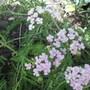 Achillea_millefolium_pretty_belinda_2_