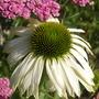 Echinacea_white_swan_