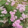 Achillea_millefolium_christine_s_pink_2_