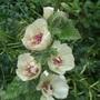 Alcalthaea_suffrutescens_parkallee_