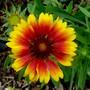 Gaillardia. (Gaillardia aristata (Blanketflower))