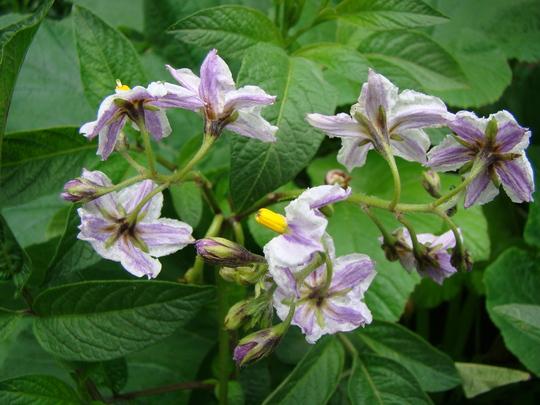 Pepino flowers (Solanum muricatum (Melon Pear))