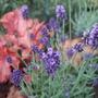 Lavandula angustifolia 'Hidcote' (Lavandula angustifolia (Lavender))