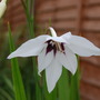 My £1 shop bargain, beautiful eh? (Gladiolus Callianthus)
