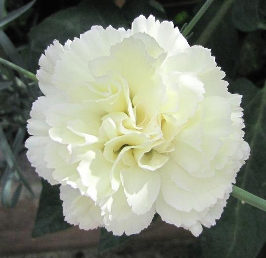 Carnation 'Pax' (carnation)