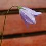 Campanula rotundifolia (Harebell)