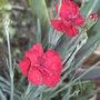 Alpine dianthus - 3 (Dianthus)