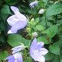 Campanula_persicifolia