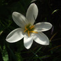Zephyranthes candida (Zephyranthes candida (Flower of the Western Wind))
