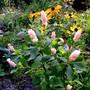 Ruby Spice Clethra (Clethra alnifolia (Sweet Pepperbush))
