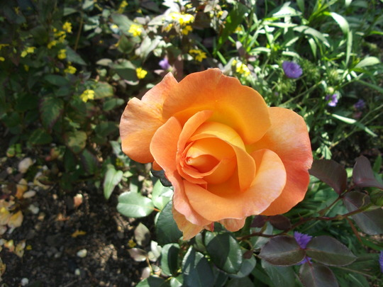 Rose Whiskey Mac hybrid tea,  rich gold and amber (Rose Whiskey Mac)